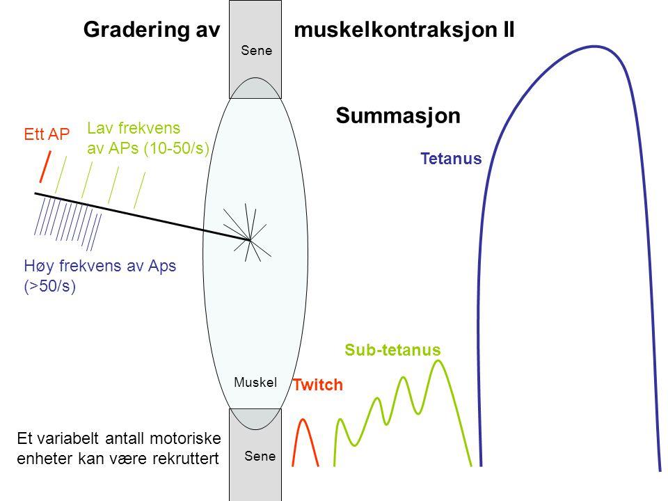 Summasjon Twitch Sub-tetanus Tetanus Sene Muskel Gradering av muskelkontraksjon II Ett AP Lav frekvens av APs (10-50/s) Høy frekvens av Aps (>50/s) Et