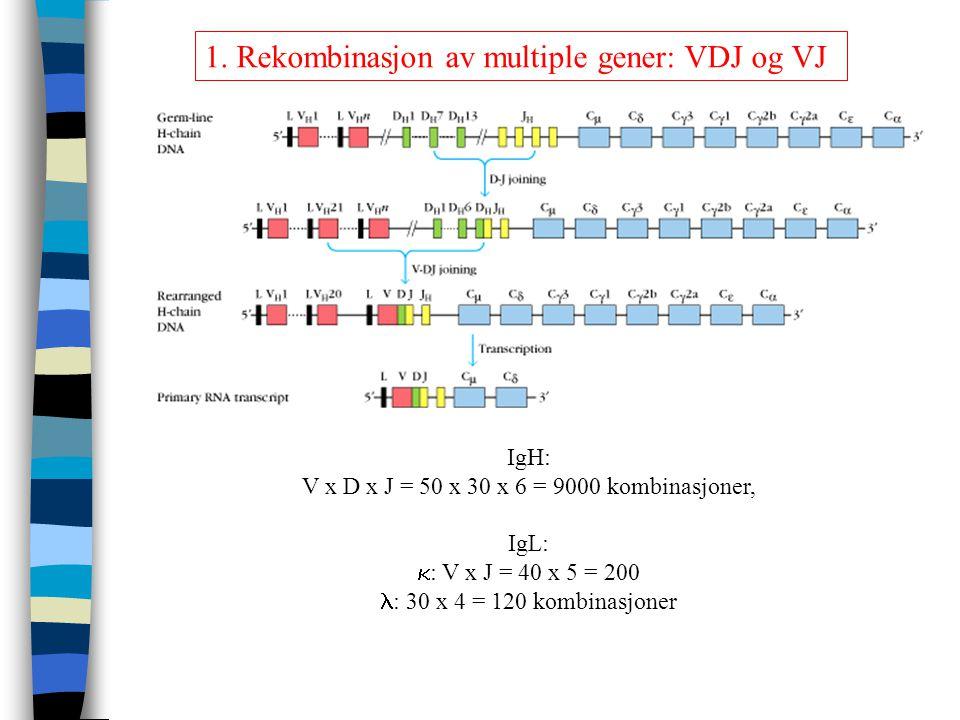 1. Rekombinasjon av multiple gener: VDJ og VJ IgH: V x D x J = 50 x 30 x 6 = 9000 kombinasjoner, IgL:  : V x J = 40 x 5 = 200 : 30 x 4 = 120 kombinas