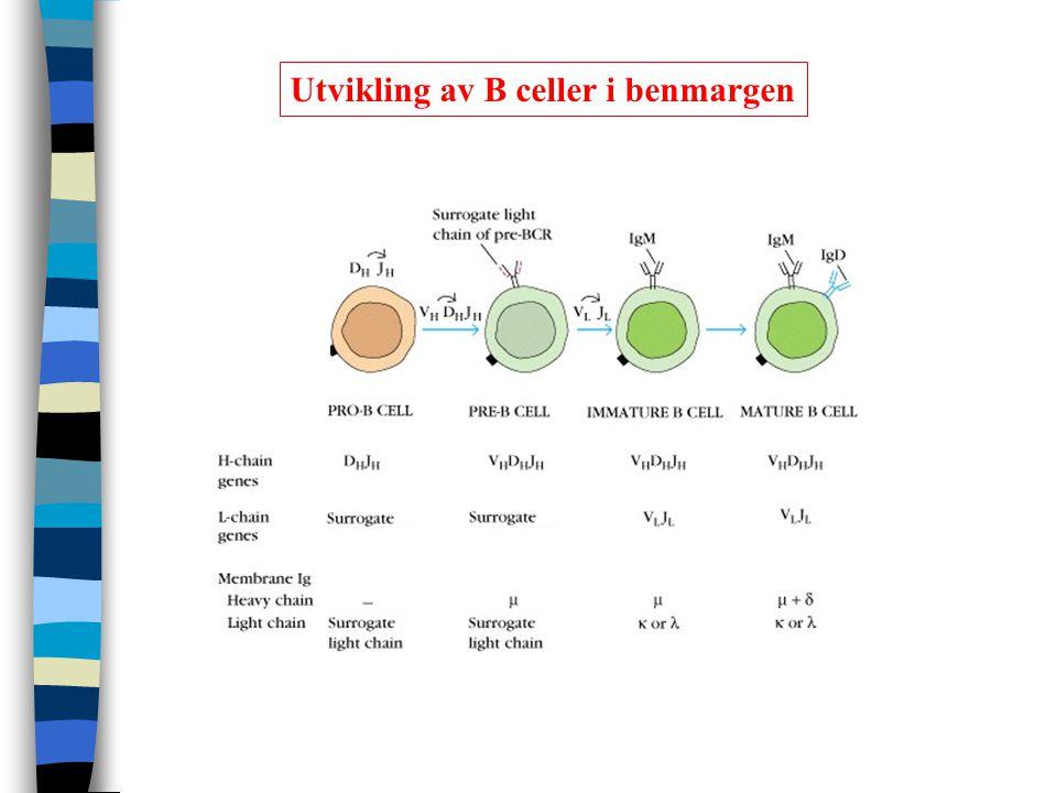 Utvikling av B celler i benmargen