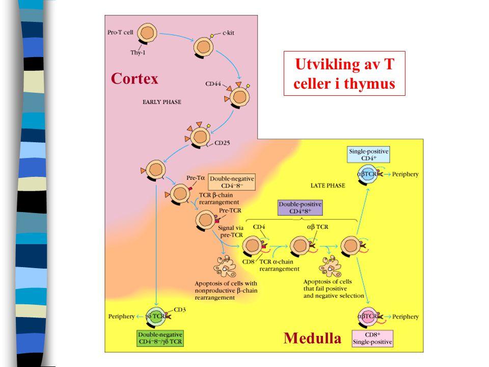 Utvikling av T celler i thymus Cortex Medulla