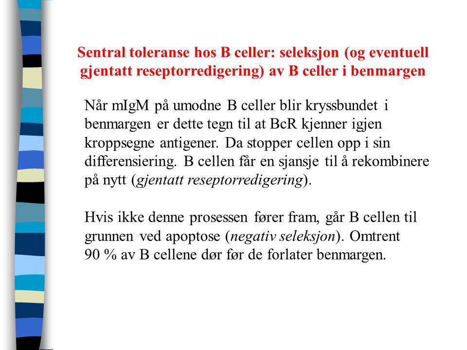 Når mIgM på umodne B celler blir kryssbundet i benmargen er dette tegn til at BcR kjenner igjen kroppsegne antigener. Da stopper cellen opp i sin diff
