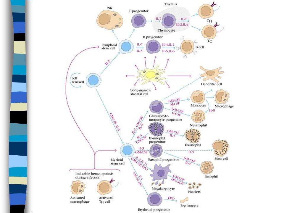 T B T B B B B T T T Stamceller Umoden progenitorceller Modne lymfocytter Aktiverte lymfocytter Antigen uavhengigfase Antigen avhengig fase Utvikling av B og T lymfocytter Utvikling til modne B og T celler er nært knyttet opp mot dannelse av deres antigenreseptorer.