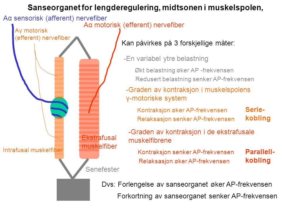 Sanseorganet for lengderegulering, midtsonen i muskelspolen, Aα motorisk (efferent) nervefiber Aα sensorisk (afferent) nervefiber Ekstrafusal muskelfiber Intrafusal muskelfiber Aγ motorisk (efferent) nervefiber Senefester Kan påvirkes på 3 forskjellige måter: -En variabel ytre belastning Økt belastning øker AP -frekvensen Redusert belastning senker AP-frekvensen -Graden av kontraksjon i muskelspolens γ-motoriske system Kontraksjon øker AP-frekvensen Relaksasjon senker AP-frekvensen -Graden av kontraksjon i de ekstrafusale muskelfibrene Kontraksjon senker AP-frekvensen Relaksasjon øker AP-frekvensen Dvs: Forlengelse av sanseorganet øker AP-frekvensen Forkortning av sanseorganet senker AP-frekvensen Serie- kobling Parallell- kobling