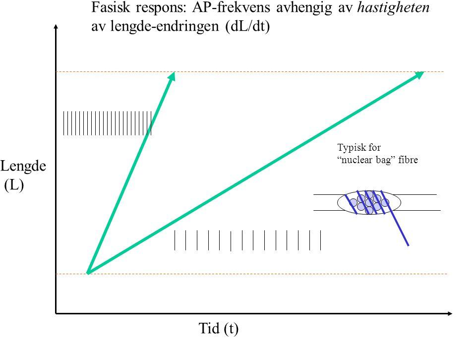Tonisk respons: AP-frekvens avhengig av lengden Lengde (L) Tid (t) Typisk for nuclear chain fibre