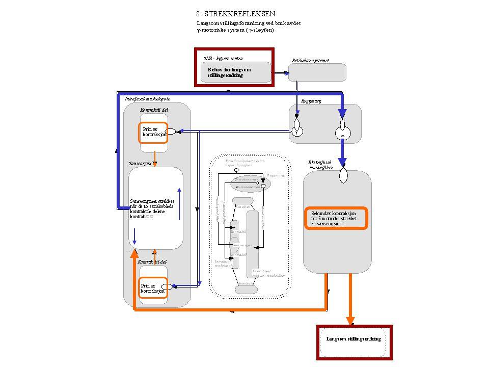 Lengde (L) Fasisk respons: AP-frekvens avhengig av hastigheten av lengde-endringen (dL/dt) Typisk for nuclear bag fibre