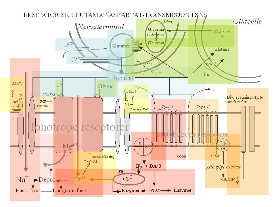 Nervefibertyper Fibertype Funksjon Fiberdiameter Ledningshastighet (µm) (m/s) Aα Afferent: Propriosepsjon 12-20 70-120 Efferent: Somatisk motorisk Aβ