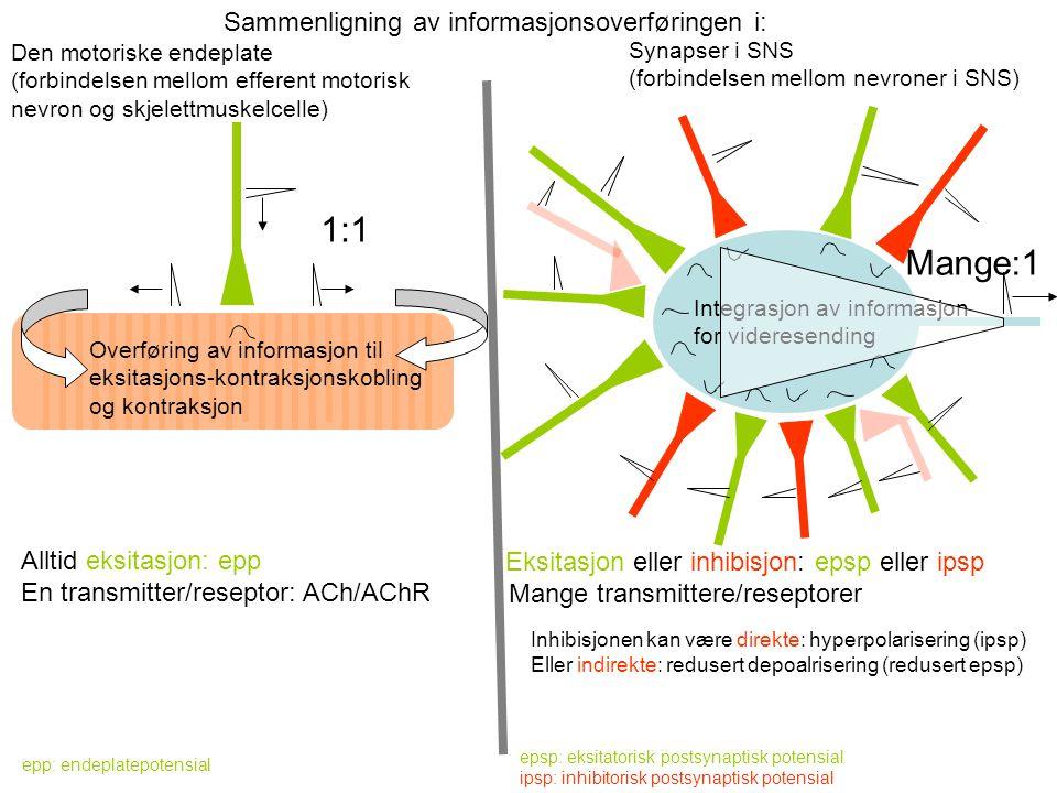 Sammenligning av informasjonsoverføringen i: Den motoriske endeplate (forbindelsen mellom efferent motorisk nevron og skjelettmuskelcelle) Synapser i SNS (forbindelsen mellom nevroner i SNS) 1:1 Mange:1 Integrasjon av informasjon for videresending Overføring av informasjon til eksitasjons-kontraksjonskobling og kontraksjon Alltid eksitasjon: epp En transmitter/reseptor: ACh/AChR epp: endeplatepotensial Eksitasjon eller inhibisjon: epsp eller ipsp Mange transmittere/reseptorer epsp: eksitatorisk postsynaptisk potensial ipsp: inhibitorisk postsynaptisk potensial Inhibisjonen kan være direkte: hyperpolarisering (ipsp) Eller indirekte: redusert depoalrisering (redusert epsp)