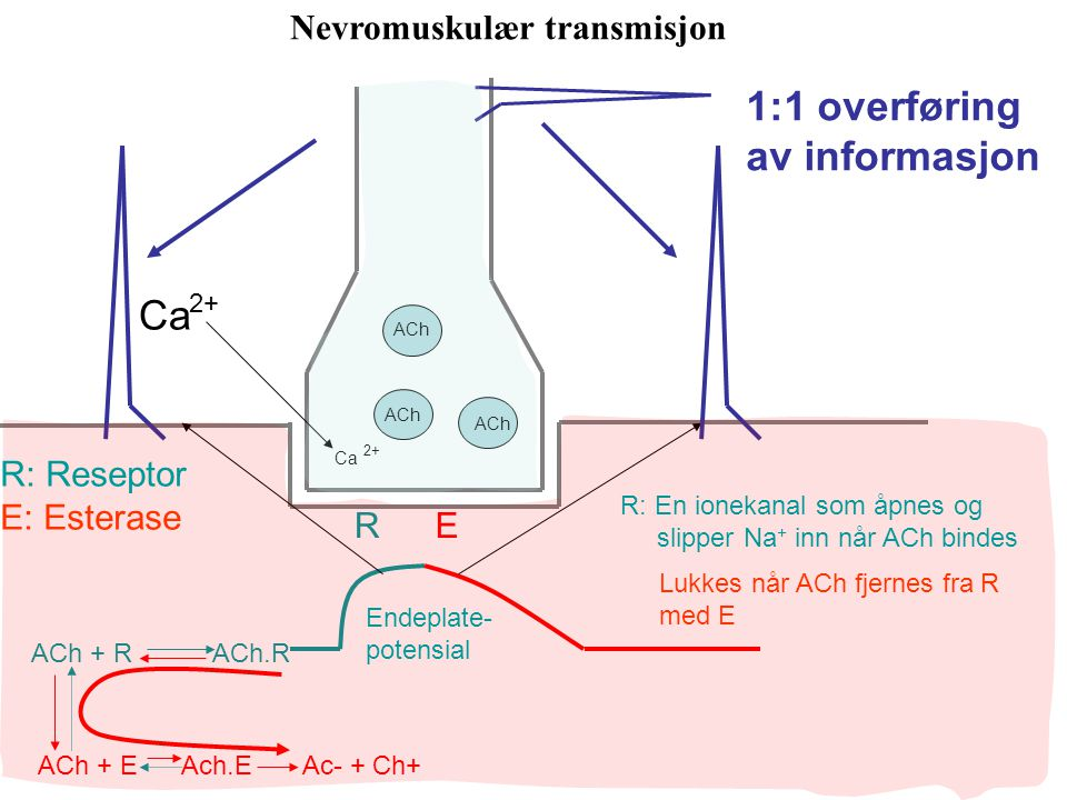 ACh RE ACh + R ACh.R ACh + E Ach.E Ac- + Ch+ Ca 2+ Ca 2+ Nevromuskulær transmisjon 1:1 overføring av informasjon R: Reseptor E: Esterase Endeplate- potensial R: En ionekanal som åpnes og slipper Na + inn når ACh bindes Lukkes når ACh fjernes fra R med E