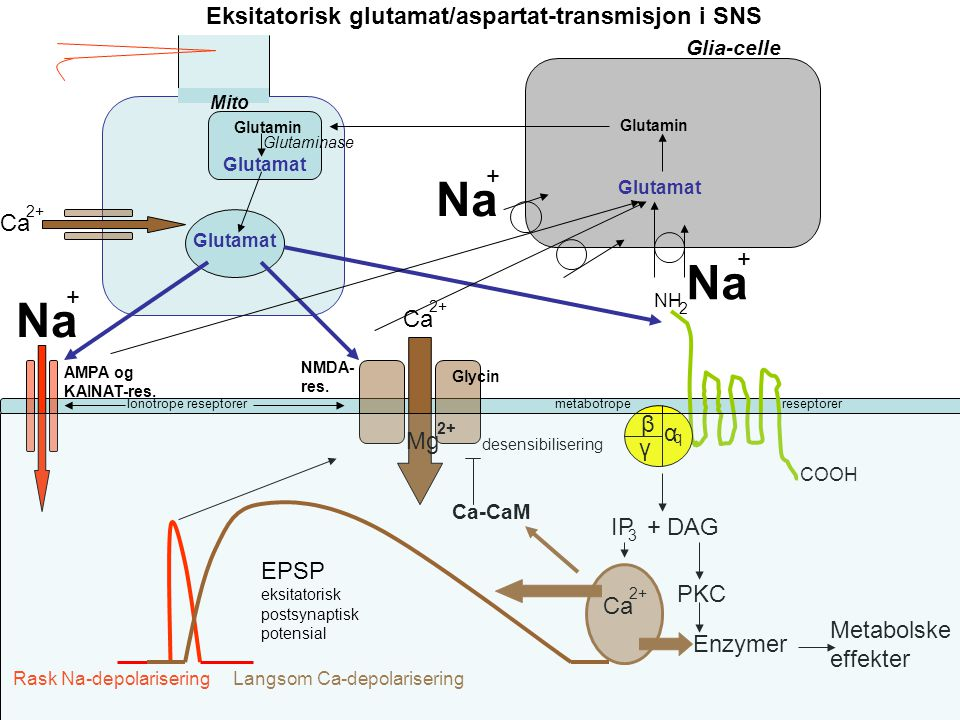 De viktigste transmittersystemer i SNS Eksitatorisk: Glutamat/aspartat I hele SNS Inhibitorisk: GABA i hjerne Glycin i ryggmarg Ionotrope reseptorer: