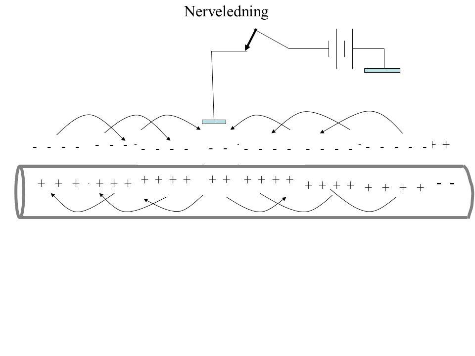 Glycin Ca 2+ Cl Ca 2+ Cl GABA Inhibitorisk glycin og GABA-transmisjon i SNS Ryggmarg Hjerne Glia-celle α β γ K + Ca E holdes på E mCl E holdes på E mC