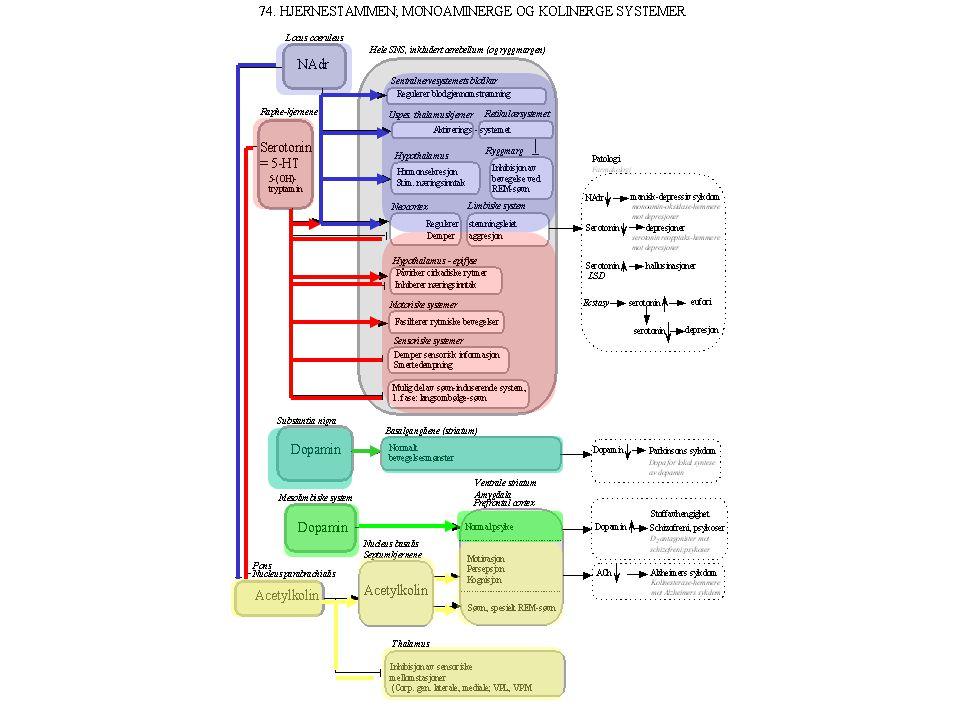 """Aktivitet: EEG i hvile: α-rytme: 8-12 Hz Basaltonus Årvåkenhet oppmerksomhet Smertedempning Dessuten: Regulering av sirkulasjon (autonom fuksjon) """" """""""