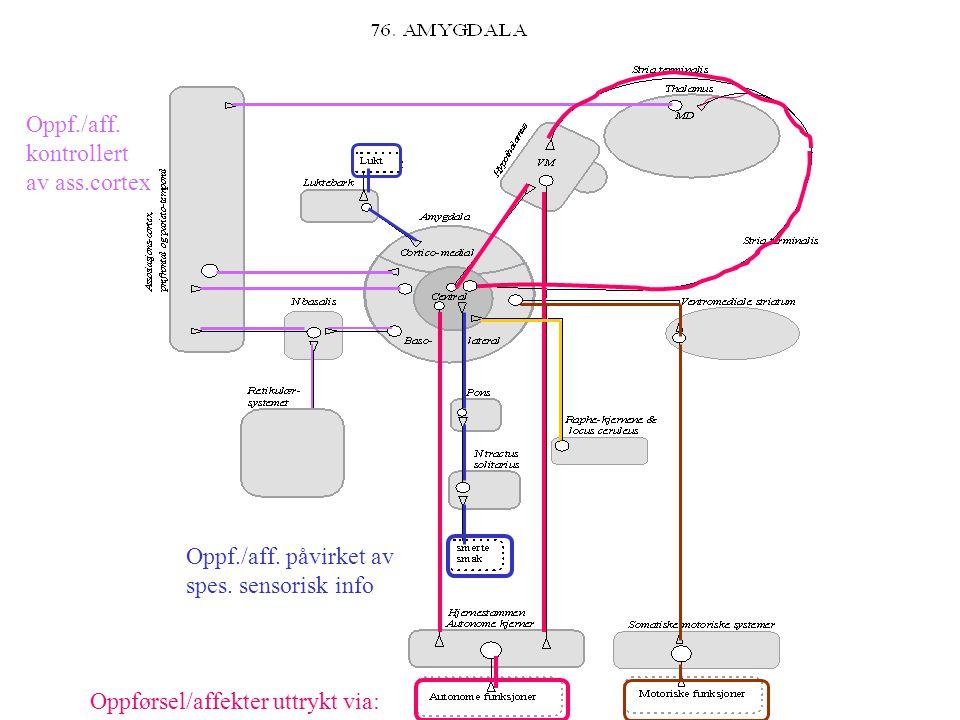 Sentralnervesystemets funksjoner Sensoriske Motoriske Sensoriske Motoriske Somatiske Autonome Affektive Kognitive Internt i hjernen Integrasjon