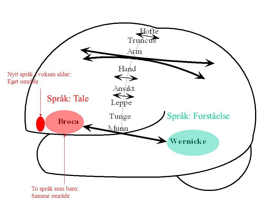 Neocortex To grupper av hovedfunksjonsområder: Assosiasjonsområder Behandler informasjon internt Projeksjonsområder Sender ut motorisk informasjon til