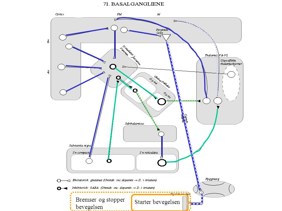 Ekstrafusal fiber Effektor Intrafusal fiber Sensor Ryggmarg Integrator Basaltonus Retikulærsyst. Vestibularis Likevekt Basalggl. Thala mus Pons Nucleu