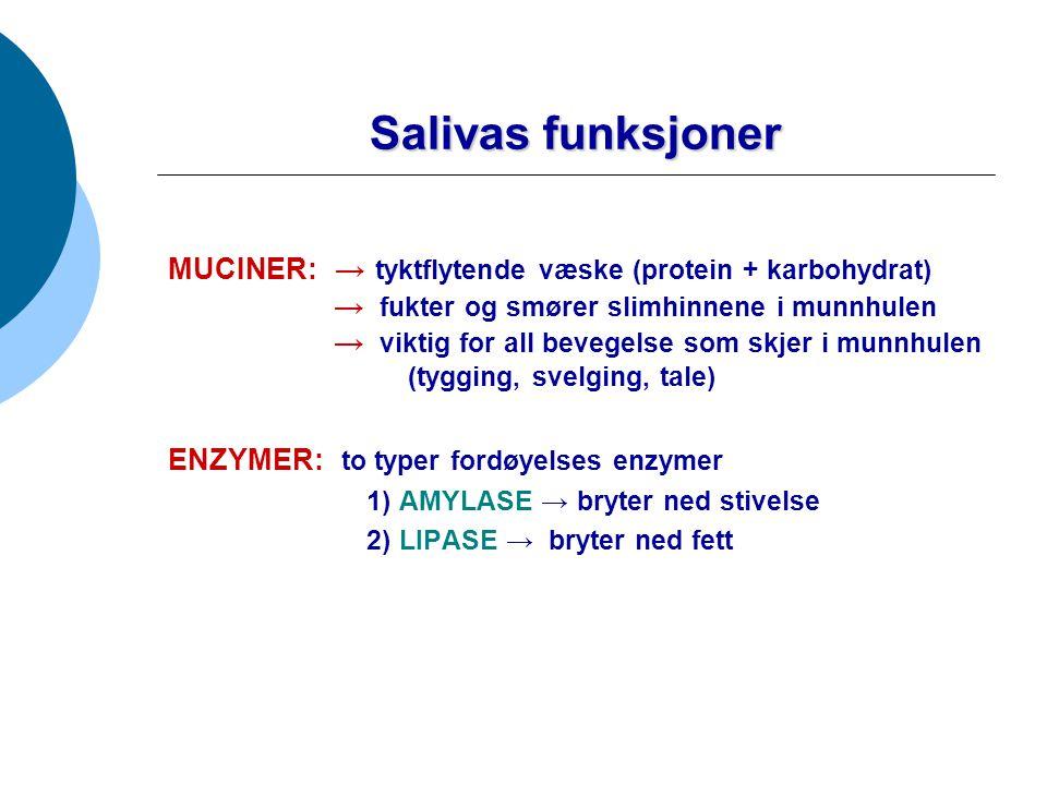 Salivas funksjoner ANTIBAKTERIELL EFFEKT: inneholder stoffer som beskytter slimhinner og tenner mot bakterieangrep Eks: Eks: IgA og Lysosym BUFFERKAPASITET: spytt inneholder mye hydrokarbonat-ioner (HCO 3 - ).