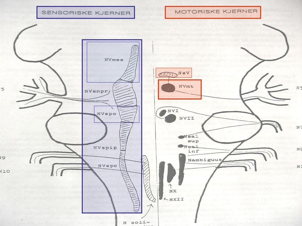 Åpne-refleksen Periodontalsensorer med Muskelkontraksjon, åpning Eksempel på funksjon: Sikkerhetsmekanisme mot skader når man biter mot noe hardt (stein i brødskive)