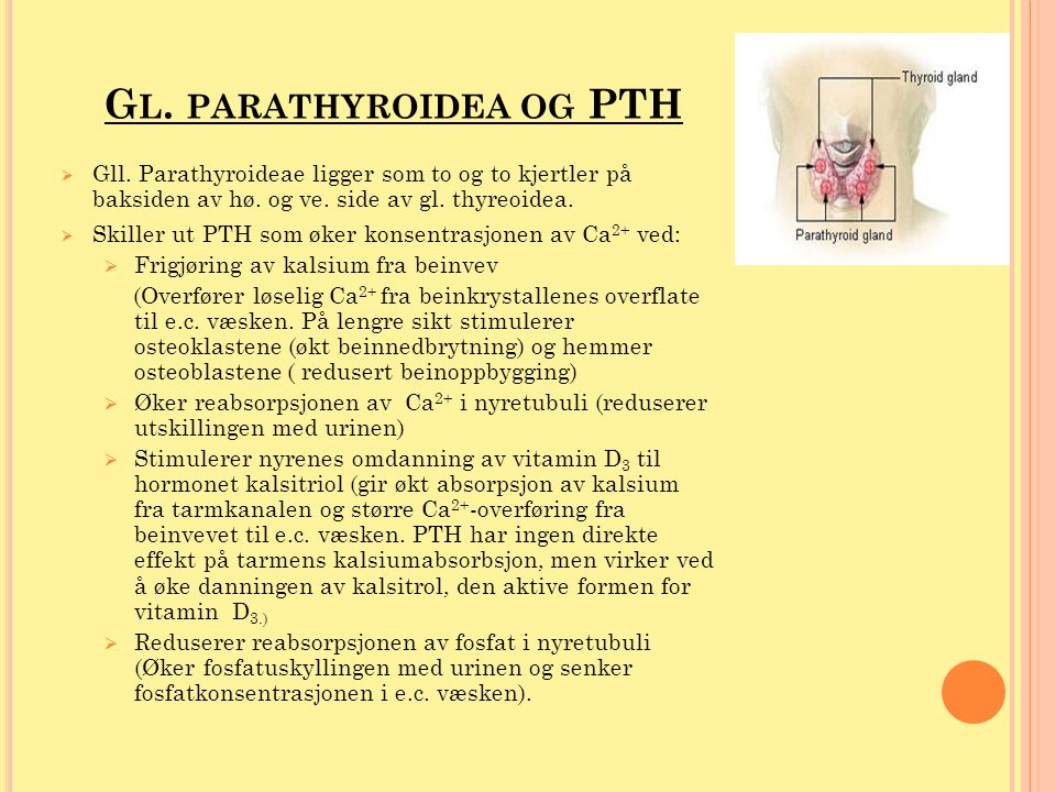 G L. PARATHYROIDEA OG PTH  Gll. Parathyroideae ligger som to og to kjertler på baksiden av hø. og ve. side av gl. thyreoidea.  Skiller ut PTH som øk