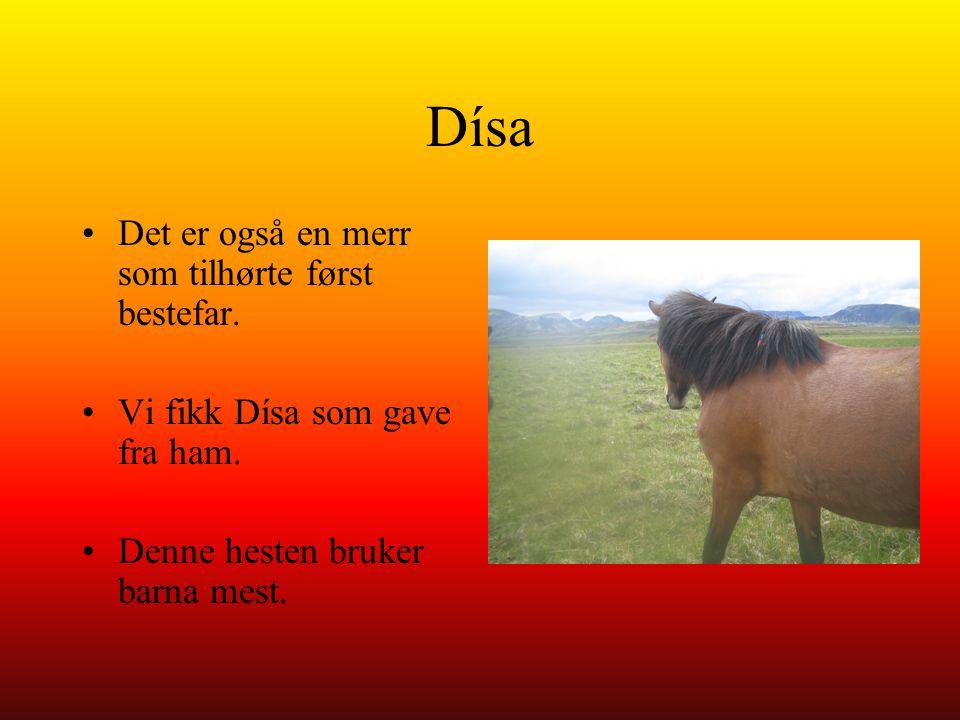 Dísa Det er også en merr som tilhørte først bestefar. Vi fikk Dísa som gave fra ham. Denne hesten bruker barna mest.