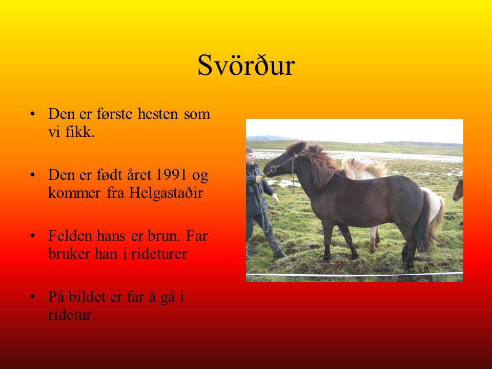 Svörður Den er første hesten som vi fikk. Den er født året 1991 og kommer fra Helgastaðir Felden hans er brun. Far bruker han i rideturer På bildet er