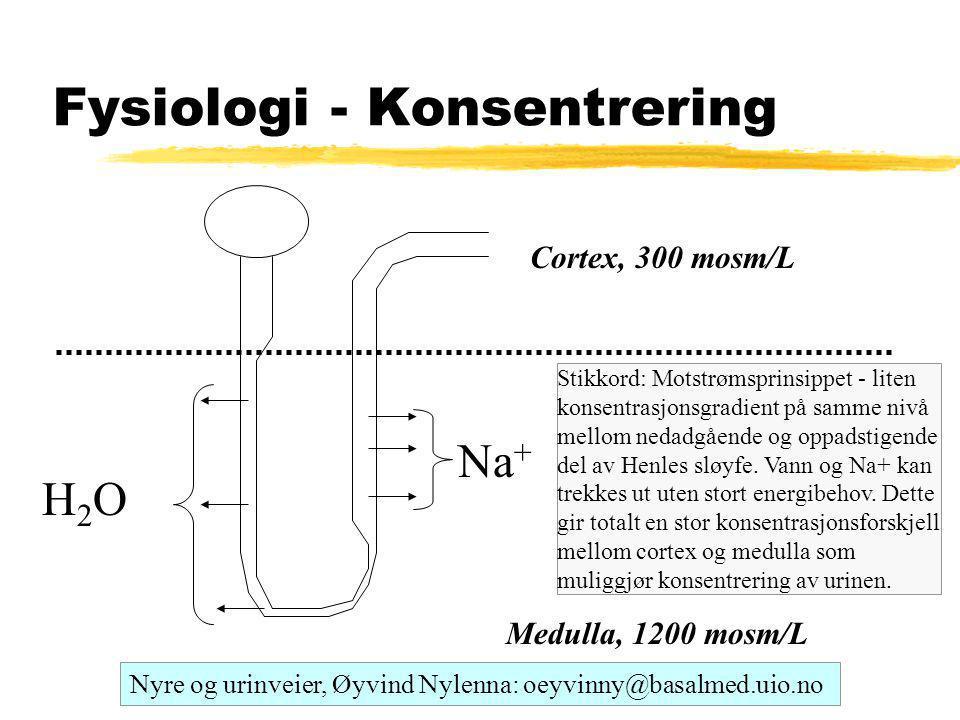 Fysiologi - Konsentrering Medulla, 1200 mosm/L Cortex, 300 mosm/L H2OH2O Na + Nyre og urinveier, Øyvind Nylenna: oeyvinny@basalmed.uio.no Stikkord: Motstrømsprinsippet - liten konsentrasjonsgradient på samme nivå mellom nedadgående og oppadstigende del av Henles sløyfe.