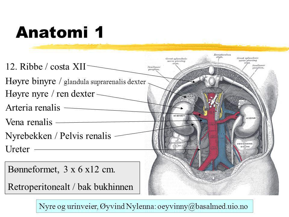 Anatomi 1 Høyre nyre / ren dexter Arteria renalis Vena renalis Ureter Nyrebekken / Pelvis renalis 12. Ribbe / costa XII Høyre binyre / glandula suprar