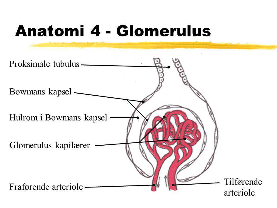 Anatomi 4 - Glomerulus Proksimale tubulus Tilførende arteriole Fraførende arteriole Glomerulus kapilærer Hulrom i Bowmans kapsel Bowmans kapsel