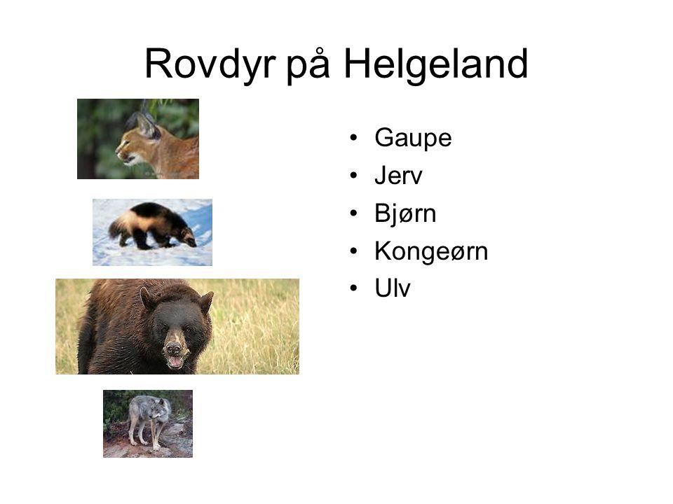 Rovdyr på Helgeland Gaupe Jerv Bjørn Kongeørn Ulv