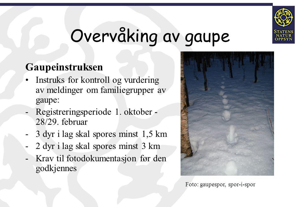 Overvåking av gaupe Rapporteringsrutiner Lokal rovviltkontakt/SNO foretar feltkontroll jfr.