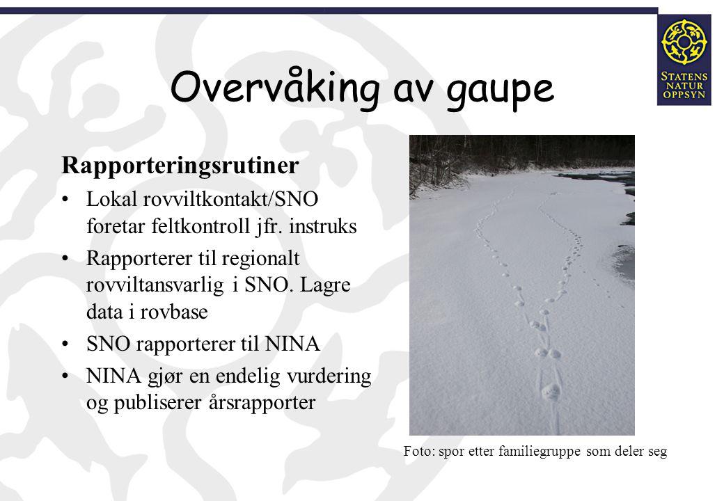 Overvåking av gaupe Rapporteringsrutiner Lokal rovviltkontakt/SNO foretar feltkontroll jfr. instruks Rapporterer til regionalt rovviltansvarlig i SNO.