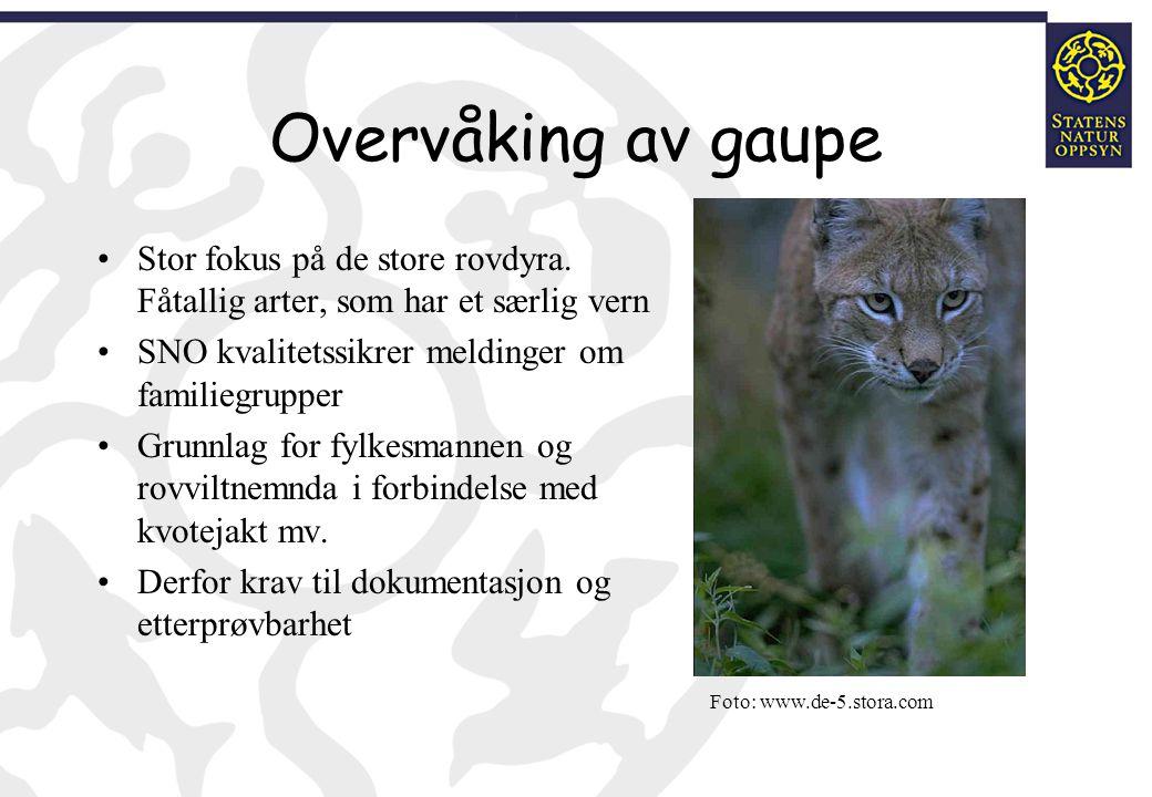 Overvåking av gaupe Stor fokus på de store rovdyra. Fåtallig arter, som har et særlig vern SNO kvalitetssikrer meldinger om familiegrupper Grunnlag fo