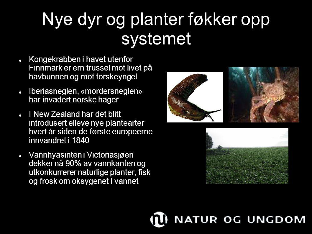 Nye dyr og planter føkker opp systemet Kongekrabben i havet utenfor Finnmark er ern trussel mot livet på havbunnen og mot torskeyngel Iberiasneglen, «