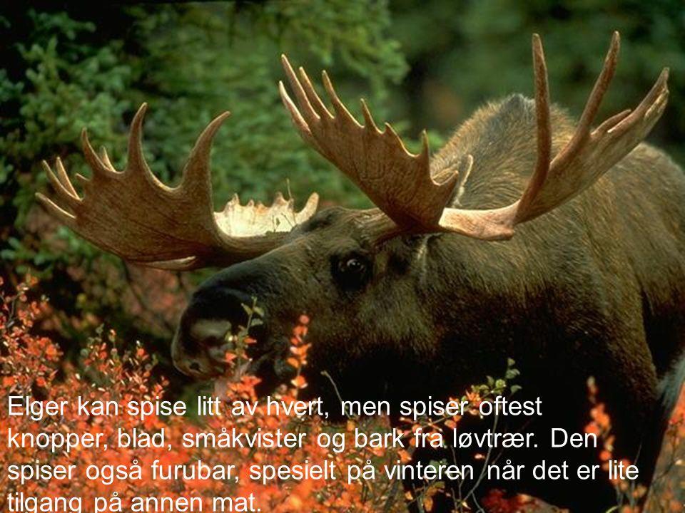 Elger kan spise litt av hvert, men spiser oftest knopper, blad, småkvister og bark fra løvtrær. Den spiser også furubar, spesielt på vinteren når det