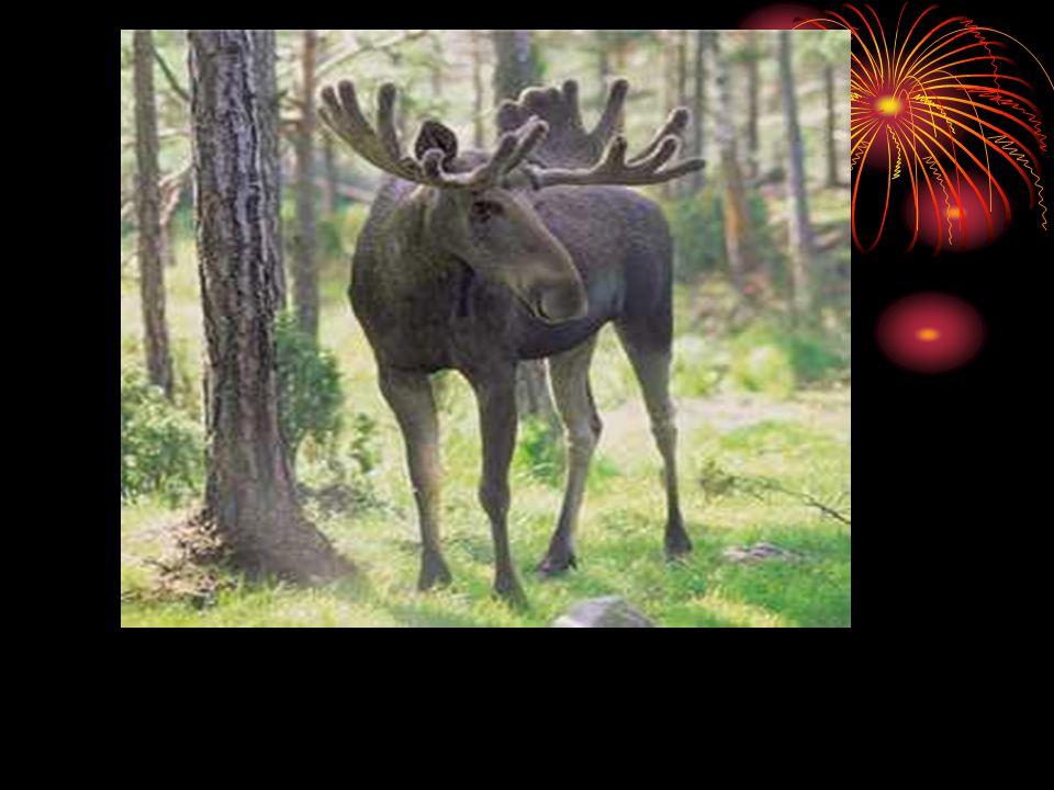 I Norge jaktes det på elg under elgjakten som varer fra 25.