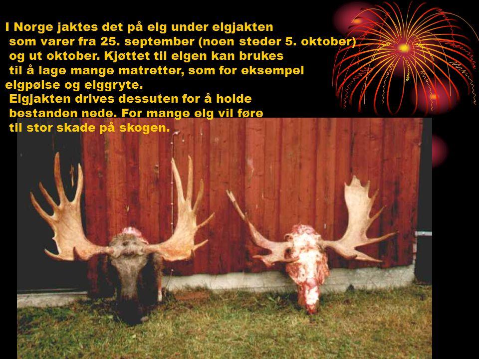 I Norge jaktes det på elg under elgjakten som varer fra 25. september (noen steder 5. oktober) og ut oktober. Kjøttet til elgen kan brukes til å lage