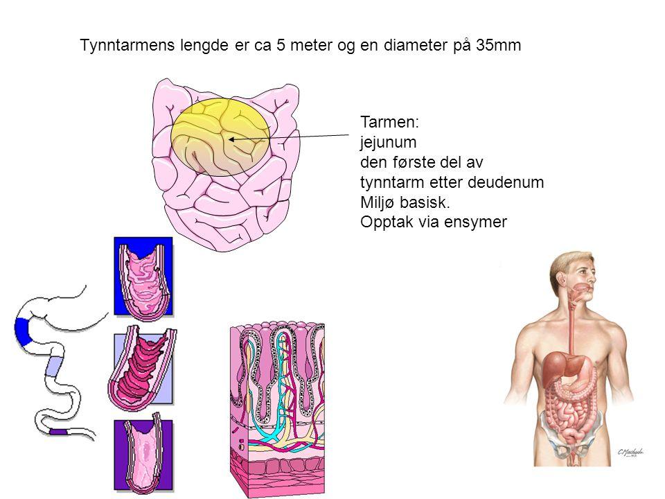 Tarmen: jejunum den første del av tynntarm etter deudenum Miljø basisk. Opptak via ensymer Tynntarmens lengde er ca 5 meter og en diameter på 35mm