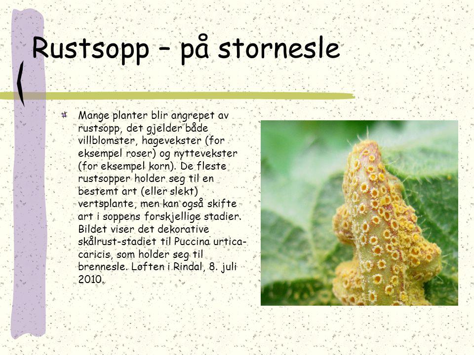 Rustsopp – på stornesle Mange planter blir angrepet av rustsopp, det gjelder både villblomster, hagevekster (for eksempel roser) og nyttevekster (for