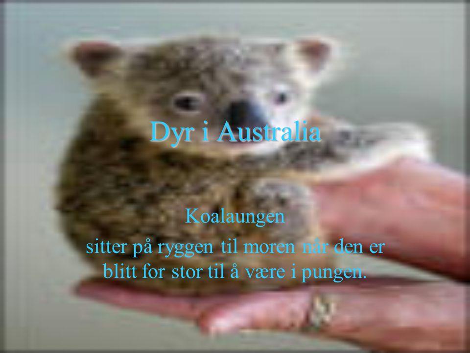 Dyr i Australia Koalaungen sitter på ryggen til moren når den er blitt for stor til å være i pungen.