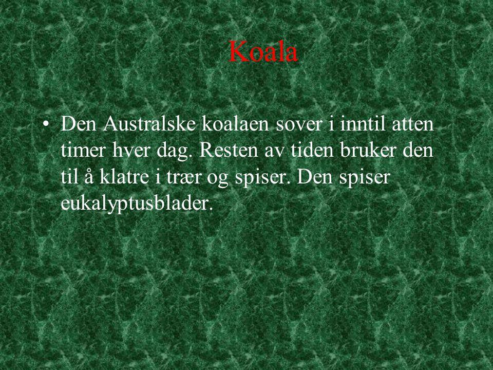 Koala Den Australske koalaen sover i inntil atten timer hver dag. Resten av tiden bruker den til å klatre i trær og spiser. Den spiser eukalyptusblade
