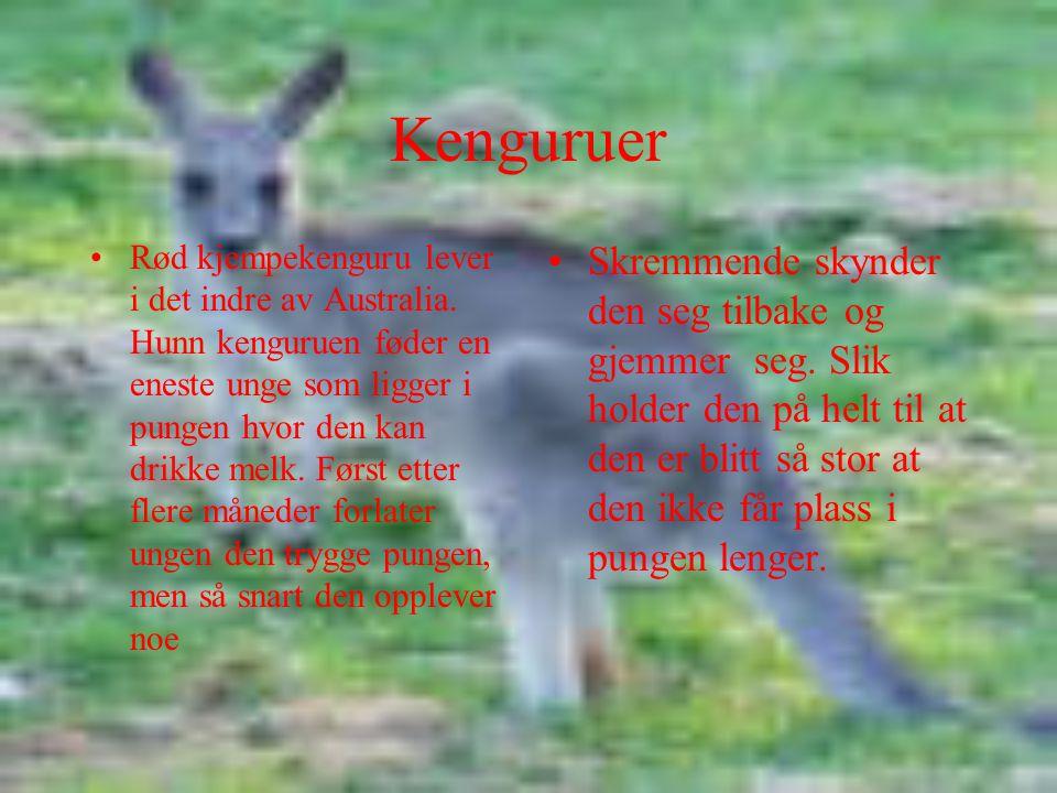 Kenguruer Rød kjempekenguru lever i det indre av Australia. Hunn kenguruen føder en eneste unge som ligger i pungen hvor den kan drikke melk. Først et