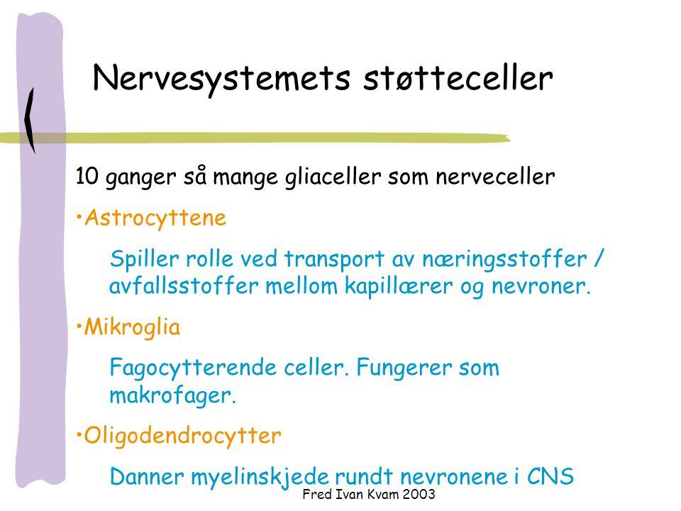 Fred Ivan Kvam 2003 Nervesystemets støtteceller 10 ganger så mange gliaceller som nerveceller Astrocyttene Spiller rolle ved transport av næringsstoffer / avfallsstoffer mellom kapillærer og nevroner.