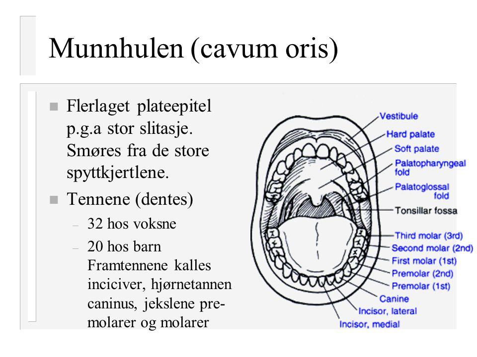 Munnhulen (cavum oris) n Flerlaget plateepitel p.g.a stor slitasje. Smøres fra de store spyttkjertlene. n Tennene (dentes) – 32 hos voksne – 20 hos ba