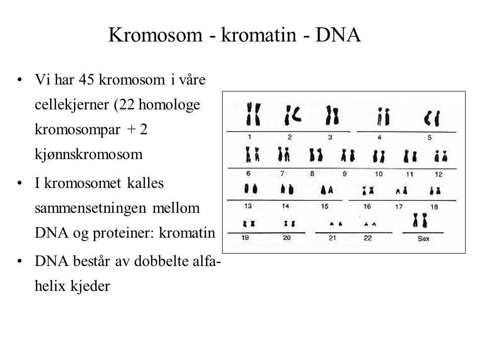 Kromosom - kromatin - DNA Vi har 45 kromosom i våre cellekjerner (22 homologe kromosompar + 2 kjønnskromosom I kromosomet kalles sammensetningen mello