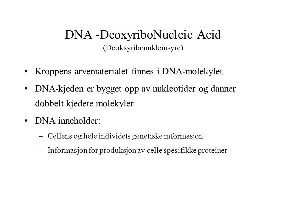 DNA -DeoxyriboNucleic Acid (Deoksyribonukleinsyre) Kroppens arvematerialet finnes i DNA-molekylet DNA-kjeden er bygget opp av nukleotider og danner dobbelt kjedete molekyler DNA inneholder: –Cellens og hele individets genetiske informasjon –Informasjon for produksjon av celle spesifikke proteiner