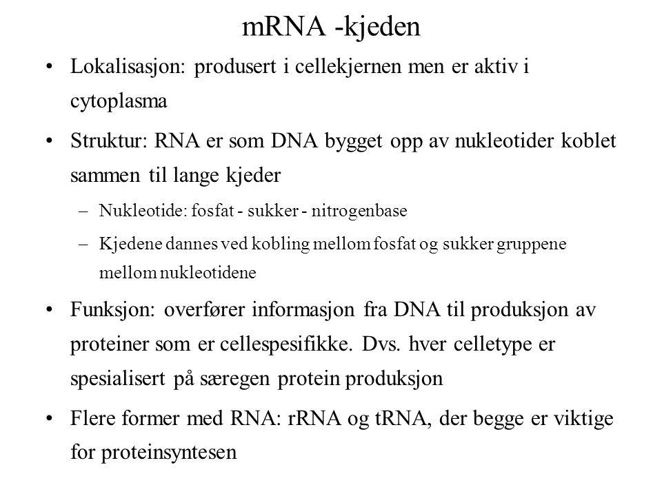 mRNA -kjeden Lokalisasjon: produsert i cellekjernen men er aktiv i cytoplasma Struktur: RNA er som DNA bygget opp av nukleotider koblet sammen til lange kjeder –Nukleotide: fosfat - sukker - nitrogenbase –Kjedene dannes ved kobling mellom fosfat og sukker gruppene mellom nukleotidene Funksjon: overfører informasjon fra DNA til produksjon av proteiner som er cellespesifikke.