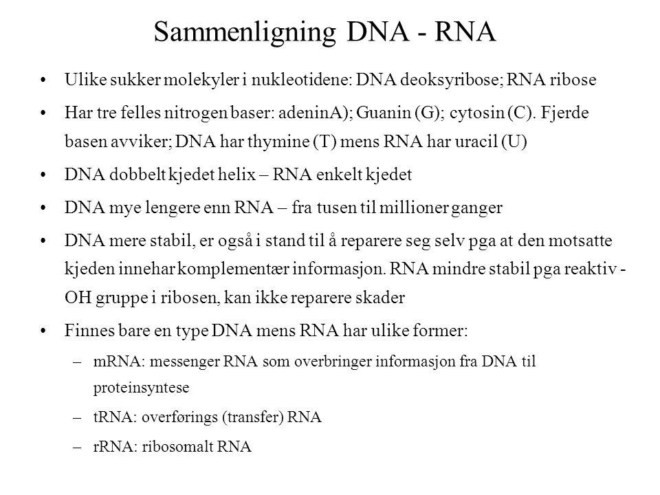 Sammenligning DNA - RNA Ulike sukker molekyler i nukleotidene: DNA deoksyribose; RNA ribose Har tre felles nitrogen baser: adeninA); Guanin (G); cytos