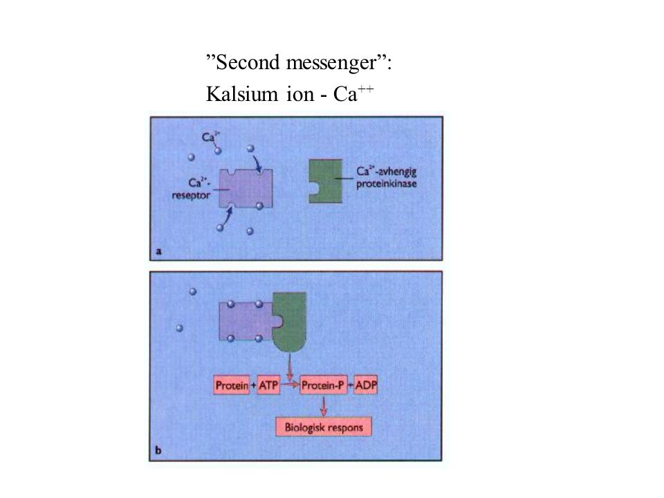 Second messenger : Kalsium ion - Ca ++