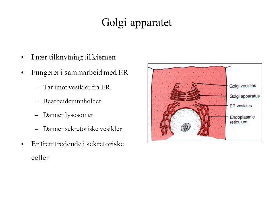 Golgi apparatet I nær tilknytning til kjernen Fungerer i sammarbeid med ER –Tar imot vesikler fra ER –Bearbeider innholdet –Danner lysosomer –Danner s