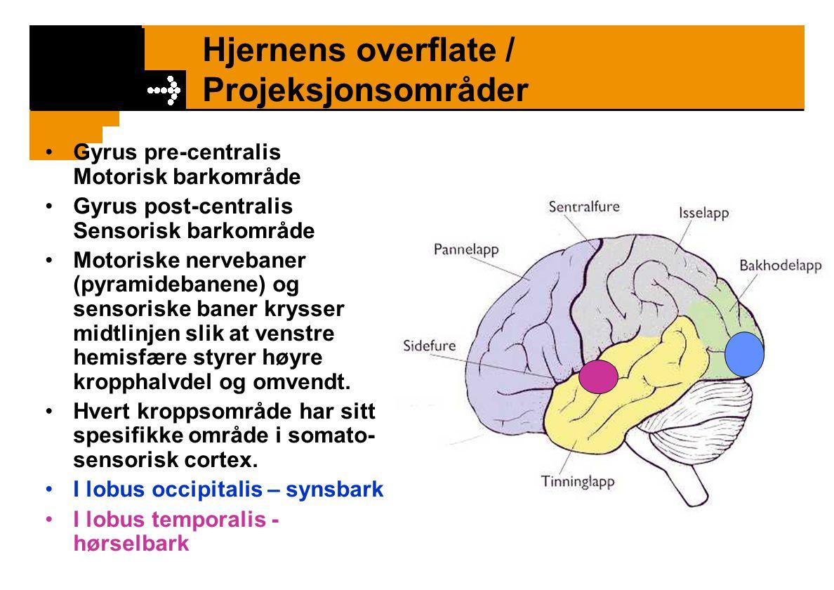 Hjernens overflate / Projeksjonsområder Gyrus pre-centralis Motorisk barkområde Gyrus post-centralis Sensorisk barkområde Motoriske nervebaner (pyrami