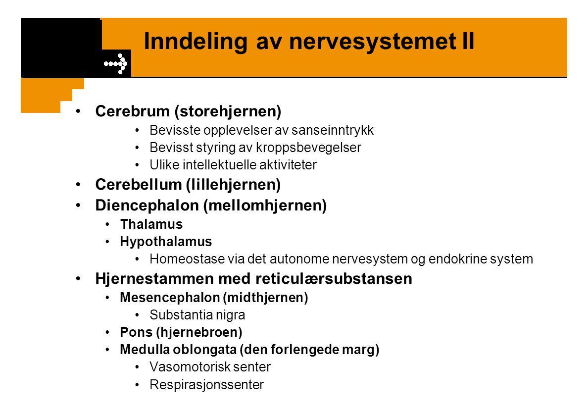Inndeling av nervesystemet II Cerebrum (storehjernen) Bevisste opplevelser av sanseinntrykk Bevisst styring av kroppsbevegelser Ulike intellektuelle a