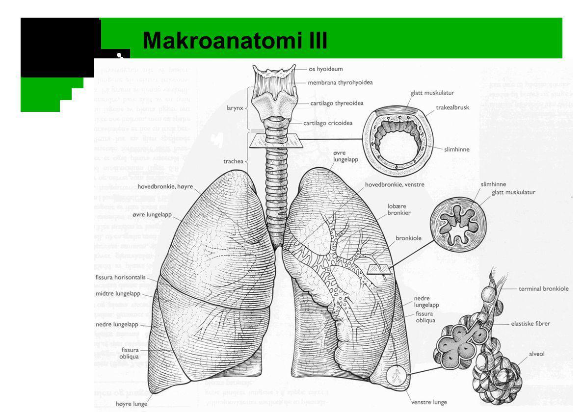 Makroanatomi III